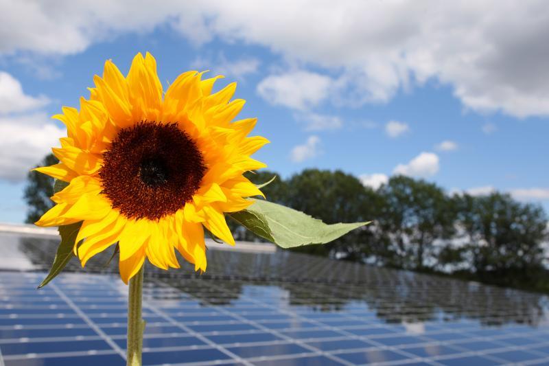 Sonnenblume vor einer PV-Anlage