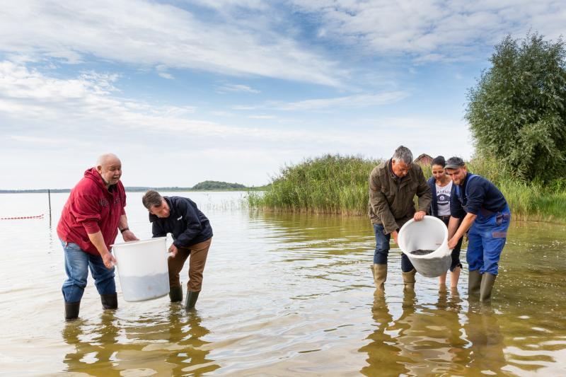 Die Aale werden in den Goldberger See gesetzt