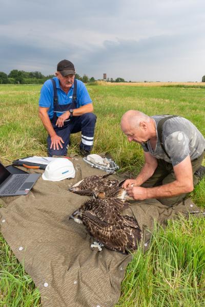 Beringung der jungen Fischadler gemeinsam mit der WEMAG
