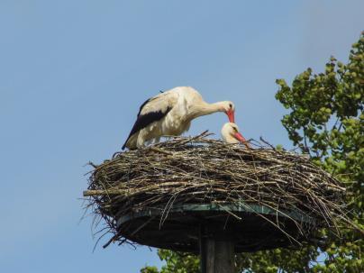 Das Storchennest hat erste Bewohner