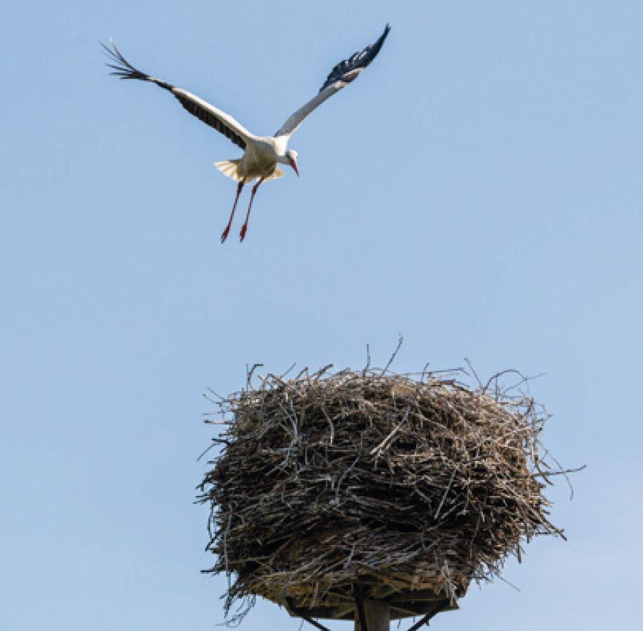 Storch der auf seinem Storchennest landet